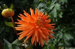 Dahlia-ruskin-marigold