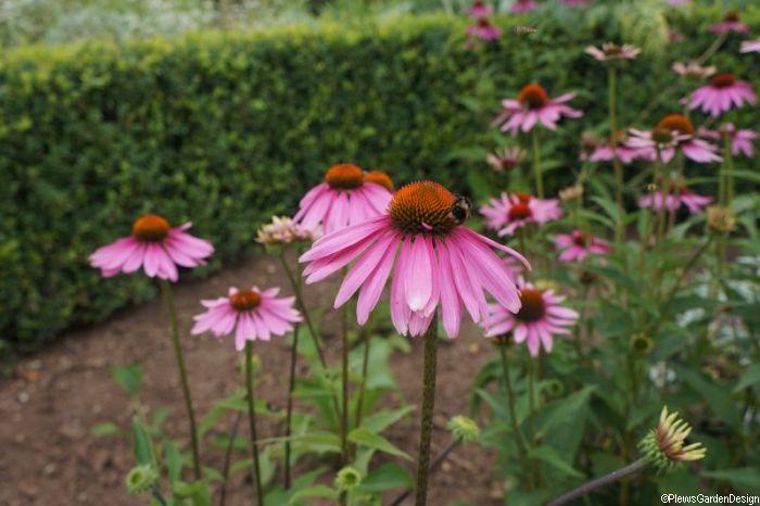 Echinacea-purpurea-pink