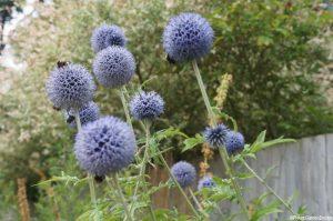 bees, echinops ritro, weeded flower border - planting design, garden maintenance, Plews Garden Design