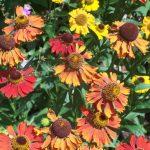 Helenium 'moorheim beauty', herbaceous perennial, planting design