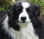 border collie, dog, employee of the year, plews garden design