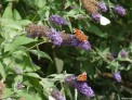 buddleia-butterflies