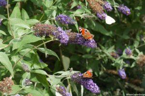 buddleia-butterflies