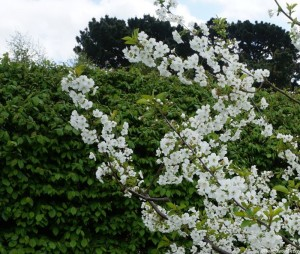 cherry-tree-blossom