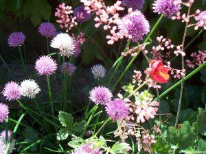 chive flowers, herbaceous potentilla, pink flowered saxifrage, planting design, plews garden design