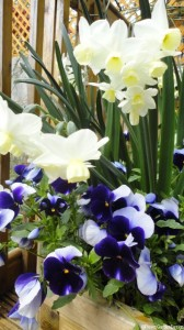 daffodils-and-pansies-in-patio-container