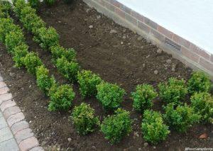 front garden - box hedge