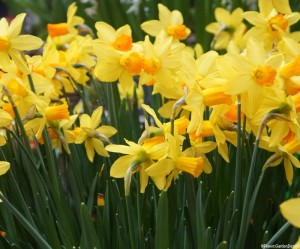 narcissus-jetfire Spring flowering daffodils