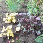 planting design, lewisham, london, heuchera, geranium, festuca glauca