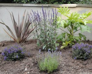 planting design, bromley, kent, lavender, salvia, shrubs, nursing home, car park