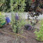 Planting design, nurrsing home car park, Bromley, Kent, Plews Garden Design