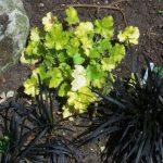 planting design lewisham, london, ophiopogon, heuchera, black grass