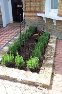 rosemary hedge and obelix - front garden