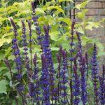 salvia, planting design, flower, flowers, plews garden design, kent