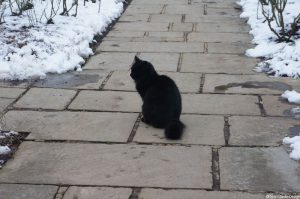 black cat winter rose garden -Chartwell