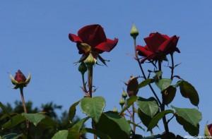 Greenwich park rose garden - Rosa loving memory