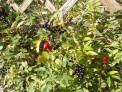 Kenilworth Elizabethan Garden - edible hedge