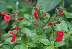 Salvia microphylla, blackcurrant sage