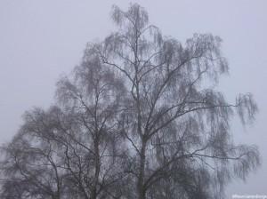 Silver Birch tree - Betula pendula -winter