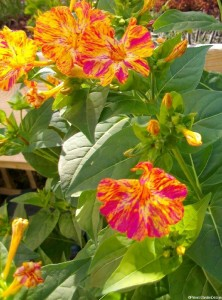 Mirabilis jalapa - four o'clock plant - pride of peru