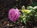 shrub rose pink