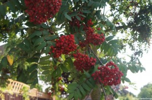 Rowan tree - sorbus - mountain ash