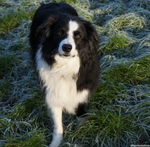 Sharpe - border collie -frosty grass