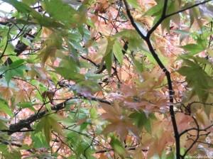 acer, pink leaved - winkworth arboretum