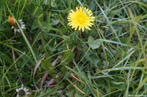 dandelion flower in lawn
