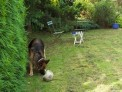 German Shepherd dog, lawn, surrey, plews garden design