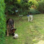 German Shepherd dog, lawn, surrey, plews garden design