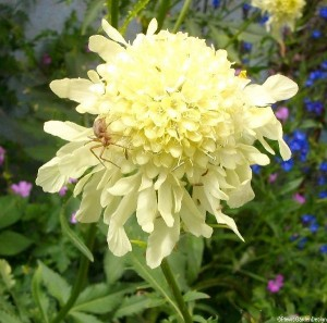 giant scabious, spider, Cephalaria gigantea, cottage garden, architectural plant, herbaceous perennial