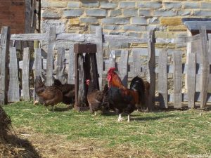 hens - cockerel