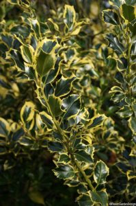 holly, variegated