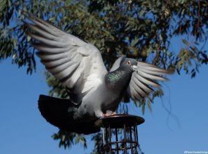pigeon - bird feeder - garden
