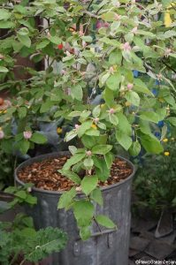 quince tree in a bucket -RHS Chelsea Flower Show 2013
