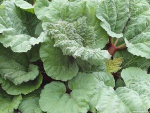 rhubarb, grow your own