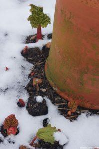 rhubarb forcing pot - young rhubarb - snow