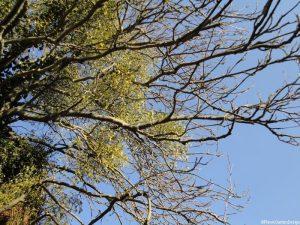 Mistletoe - Silver Birch