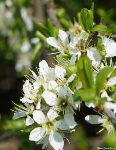 hawthorn blossom close up