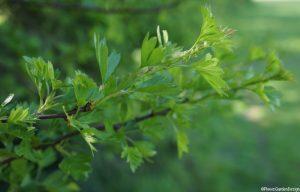 hawthorn branch in leaf
