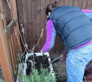 Gardening Lessons - edible gardens - harvest potatoes