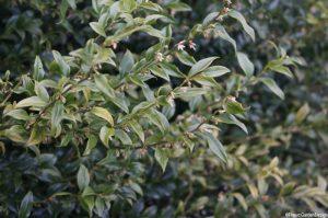 Sarcoccoca - Christmas box -evergreen shrub - Winter Flowering Shrubs