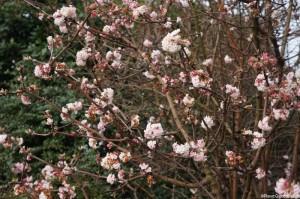 Viburnum x bodnantense dawn -Winter Flowering Shrubs