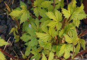 golden hop herb - climbing plant