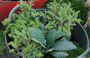 herbs in a trug