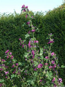 hollyhocks, yew hedge, Penshurst Place