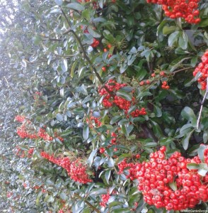pyracantha wall shrub red berries