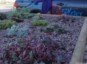 raised bed, sempervirens,sedum,front garden, london, raised beds, garden design, Plews truck , alpines