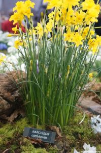 Narcissus cordubensis daffodil, RHS plant and design show